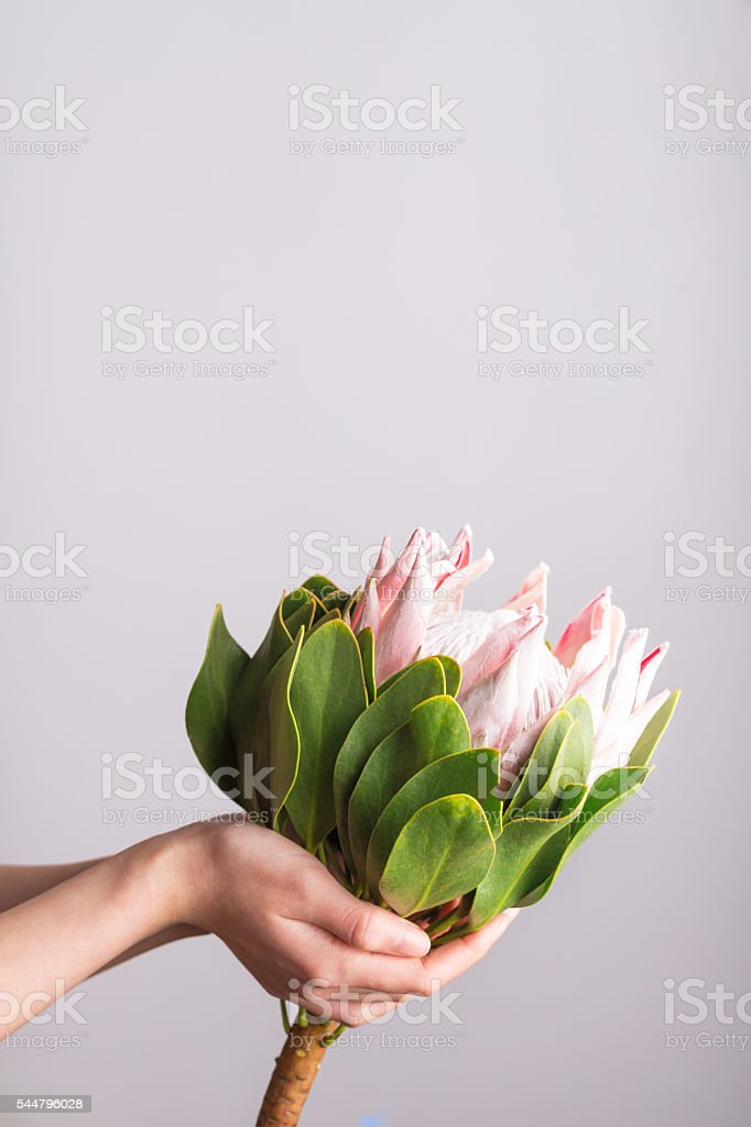 Protea studio shot stock photo