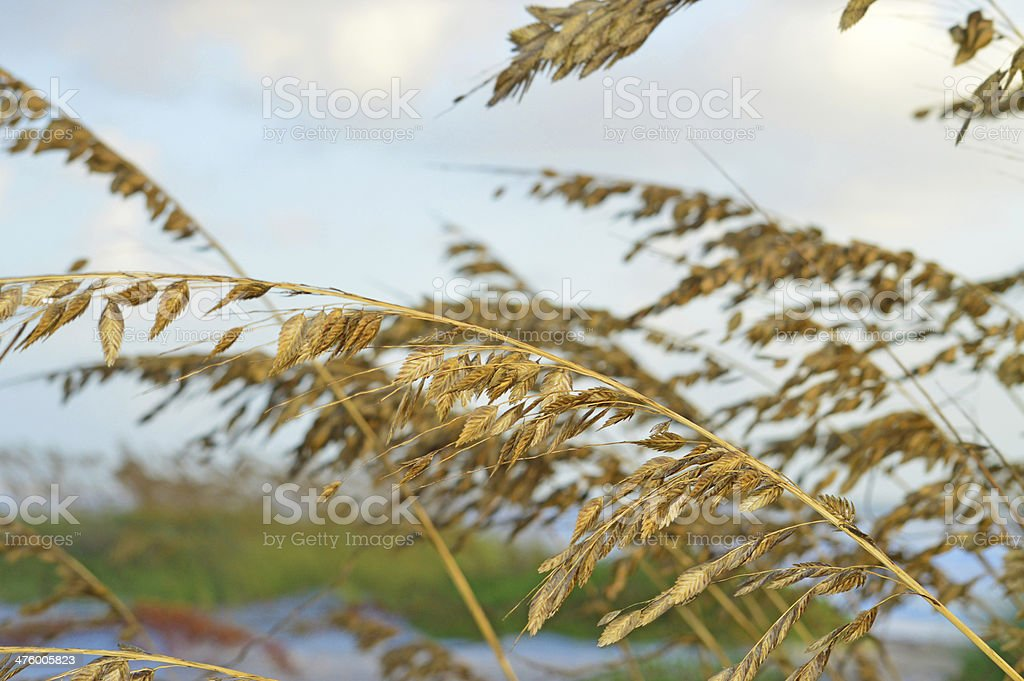 Protected Sea Oats along Cocoa Beach Florida stock photo