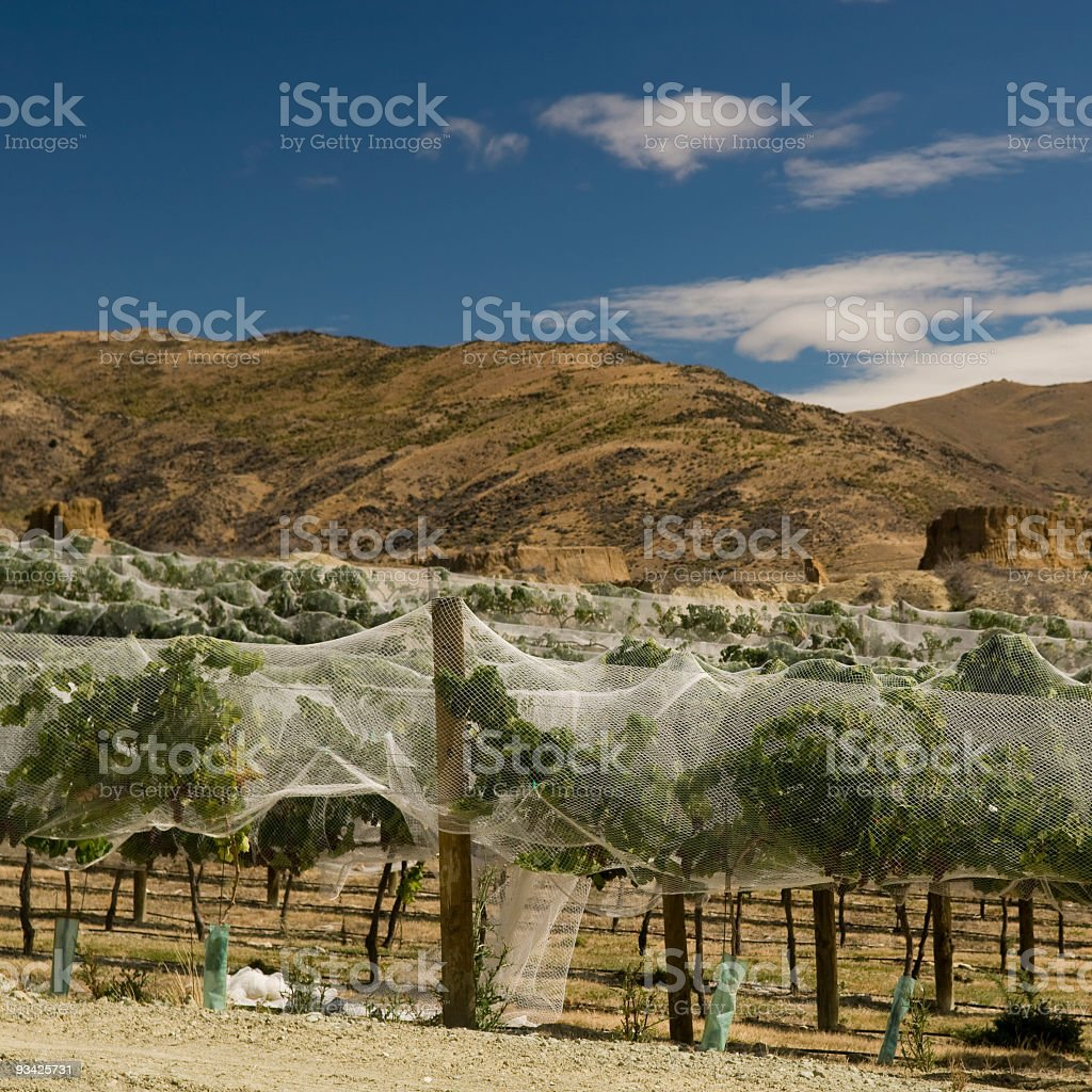 Protected Vine royalty-free stock photo