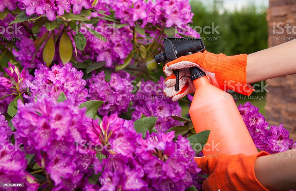 Protecting azalea plant from fungal disease or aphid stock photo