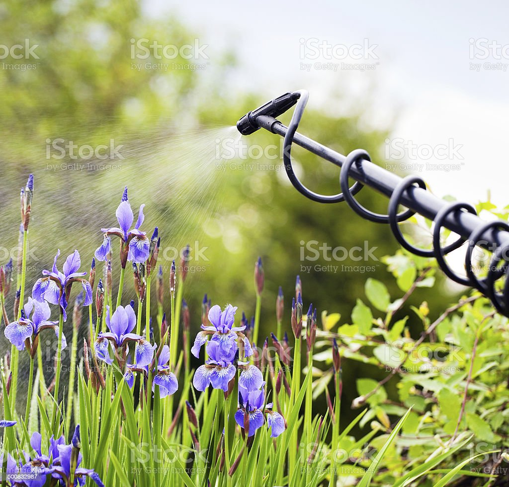 Protecting iris flower from fungal disease stock photo