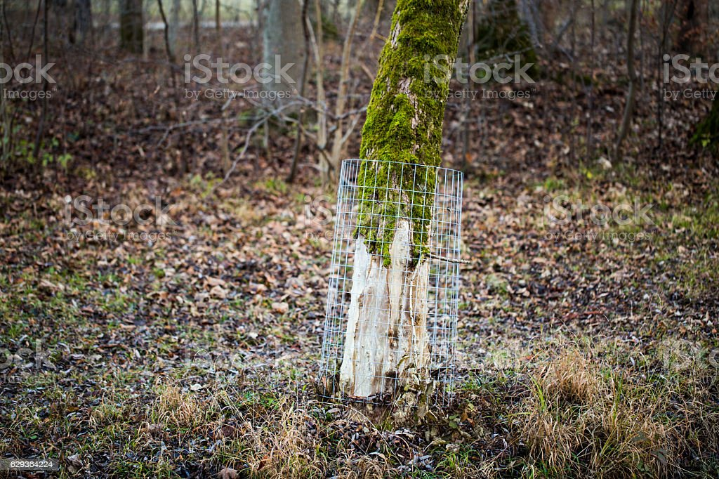 Protection grids against beaver damage stock photo