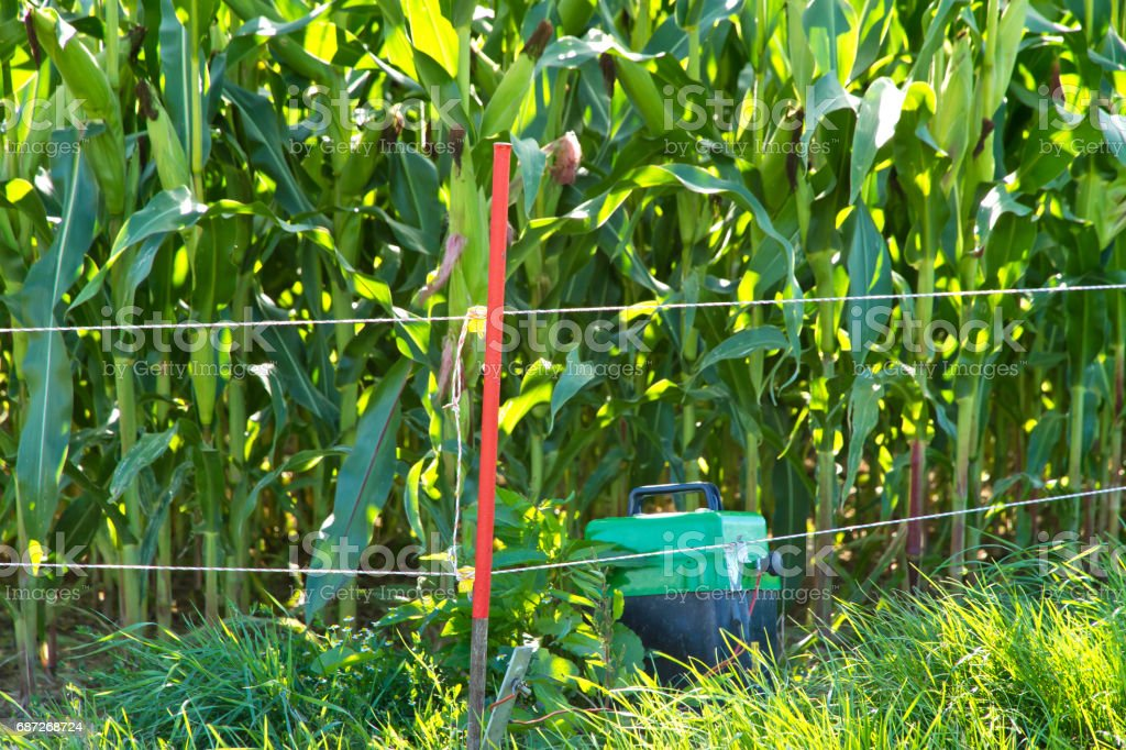 Protection of a maize field stock photo
