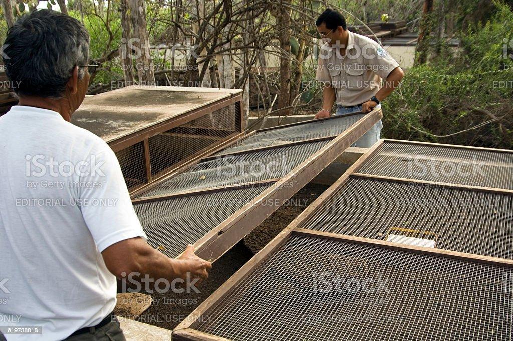 Protection of tortoise babies in breeding programme, Darwin Center, Galapagos stock photo