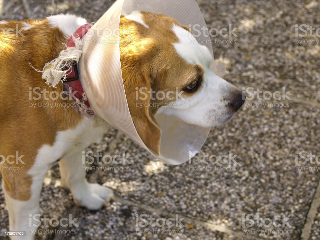 Protective Collar royalty-free stock photo