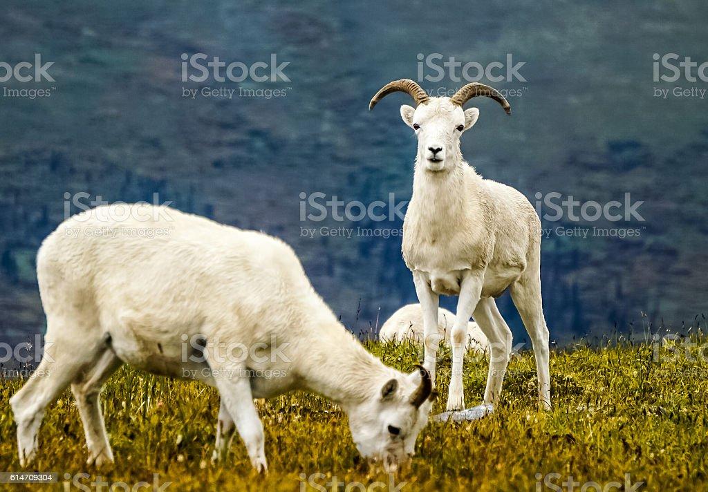 Protective Dall Sheep stock photo