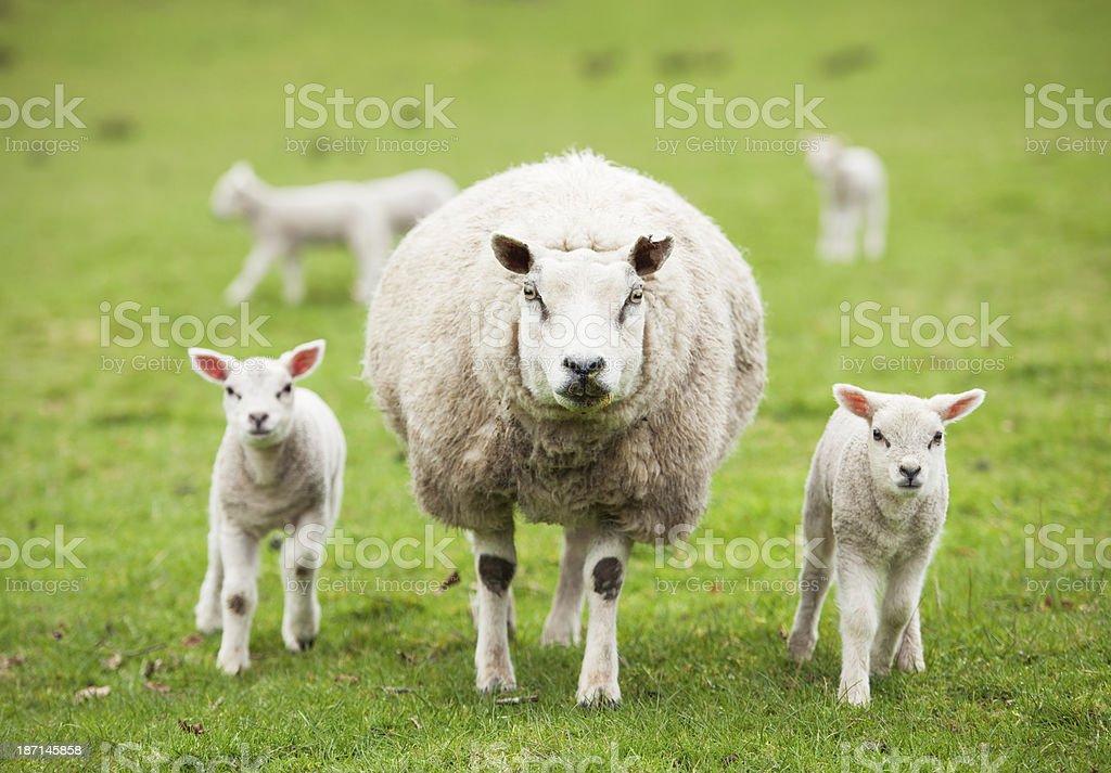 Protective ewe with lambs stock photo
