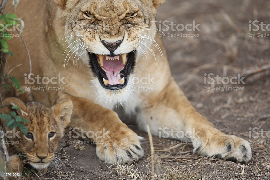Protective Lioness mother stock photo