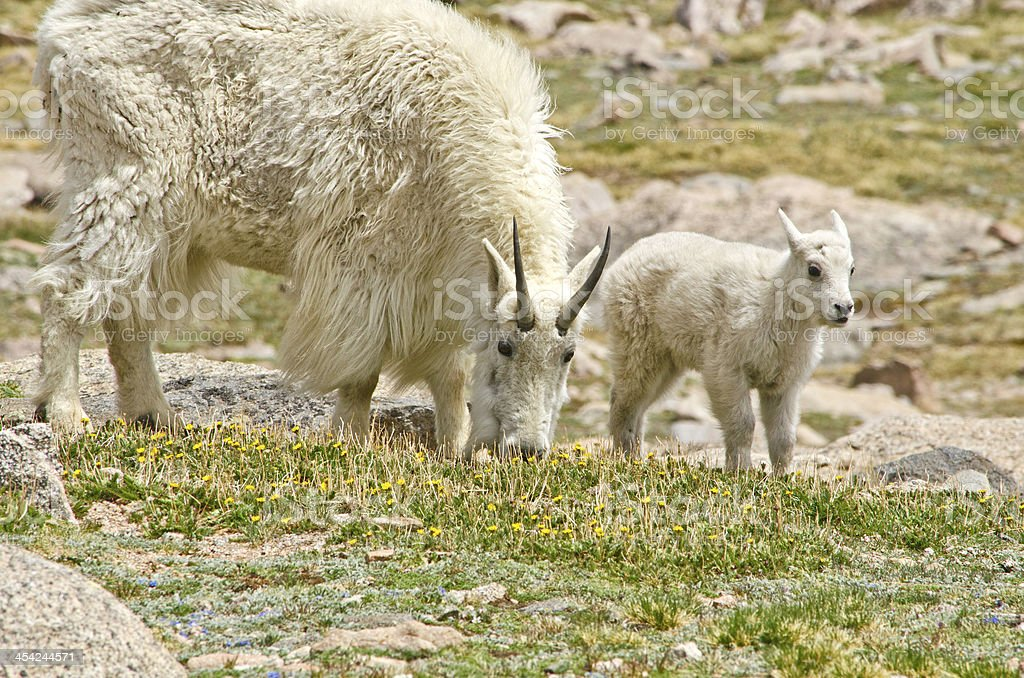 Protective Mother Goat with her Baby Goat royalty-free stock photo