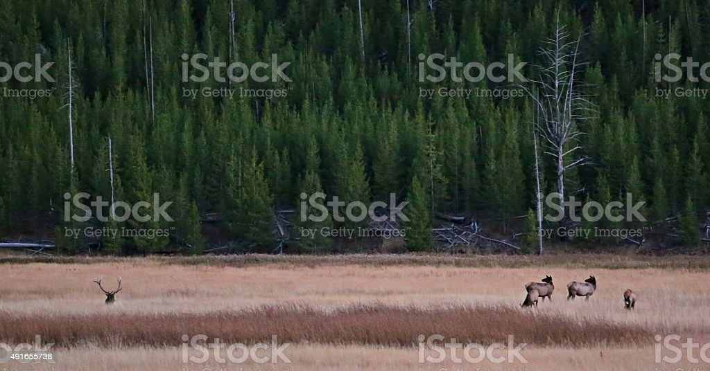 Protector of the Herd stock photo
