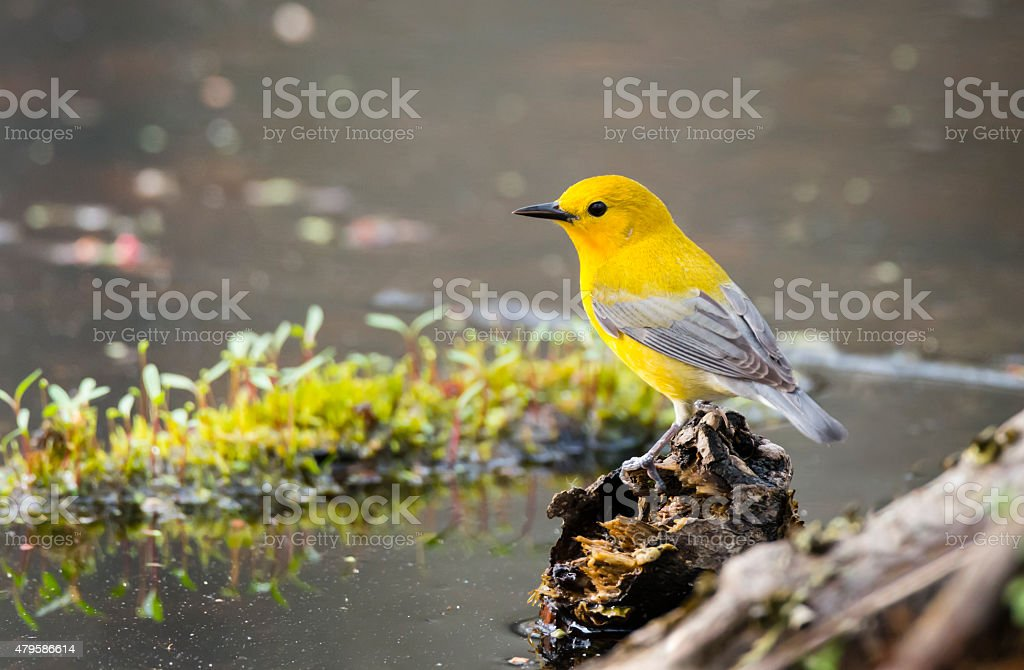 Prothonotary Warbler in springtime, rare bird in Canada, male stock photo