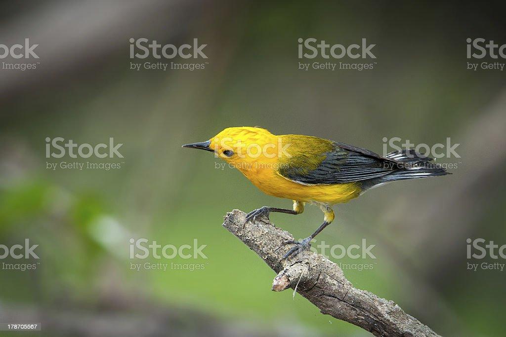 Prothonotary Paruline jaune photo libre de droits