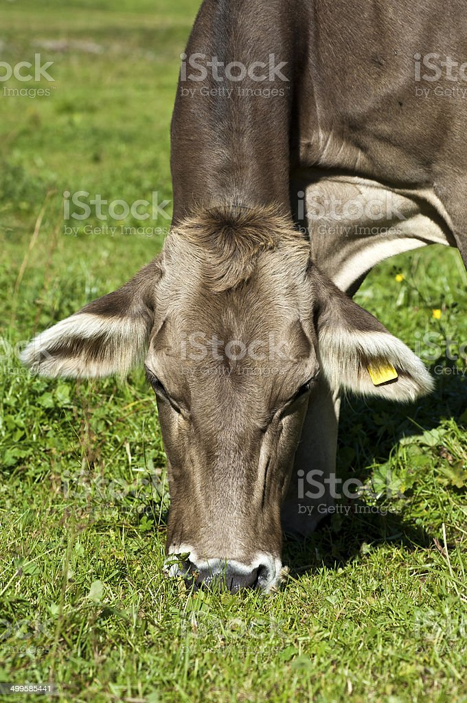 Protrait, Grey cattle cow royalty-free stock photo