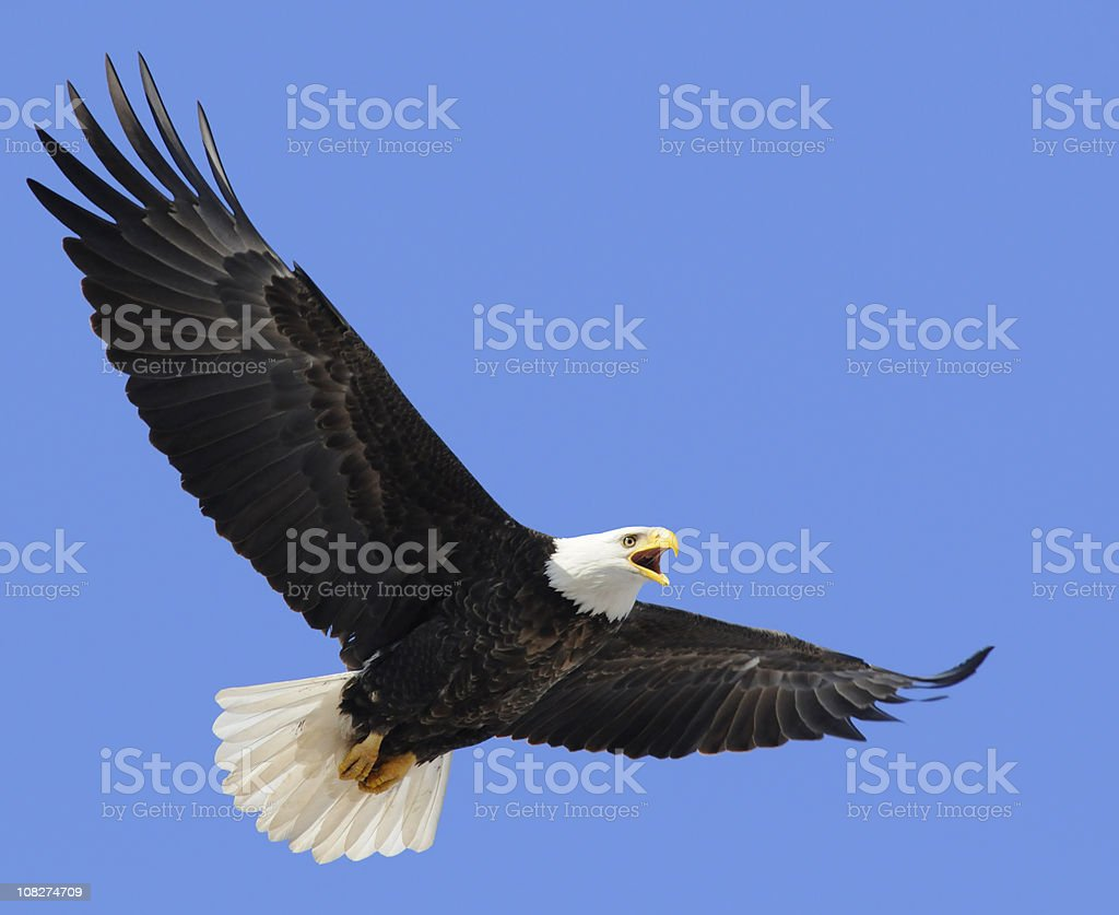 Proud American Bald Eagle Flying in Blue Sky, Leadership, Freedom royalty-free stock photo