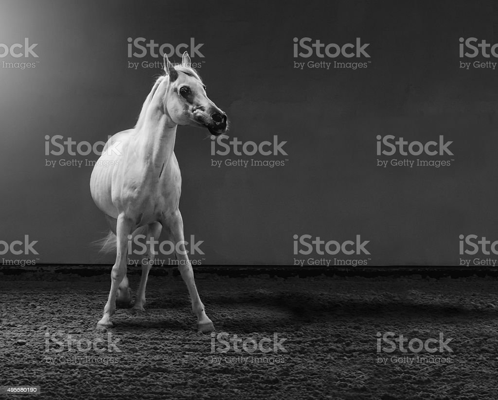 proud arabian horse - stallion in shining light stock photo