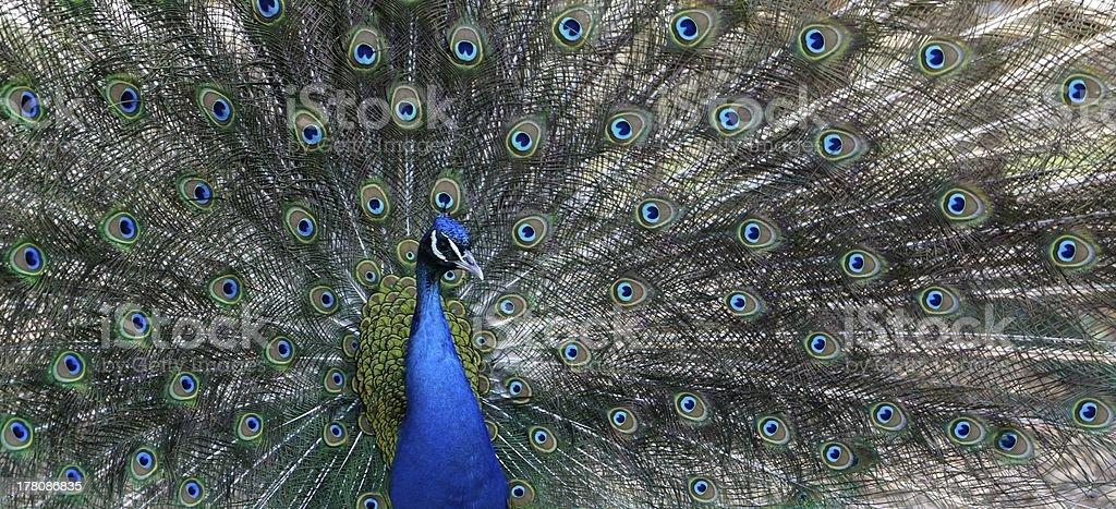 Proud as a peacock horizontal stock photo
