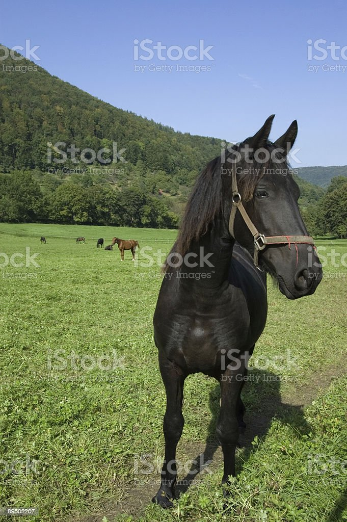 Proud black young horse stock photo
