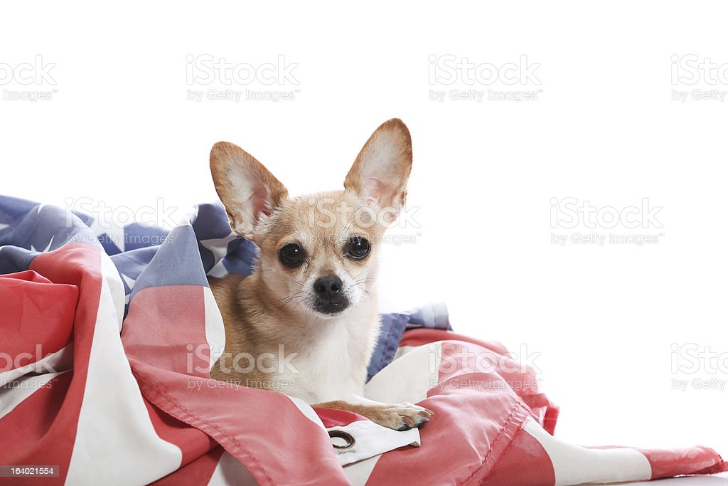 proud chihuahua royalty-free stock photo