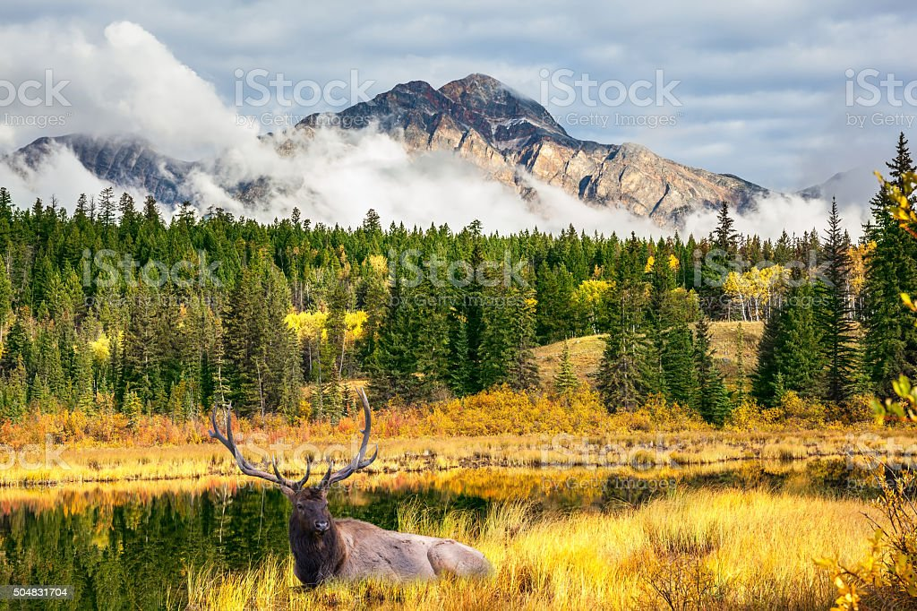 Proud deer antlered resting in the tall grass stock photo