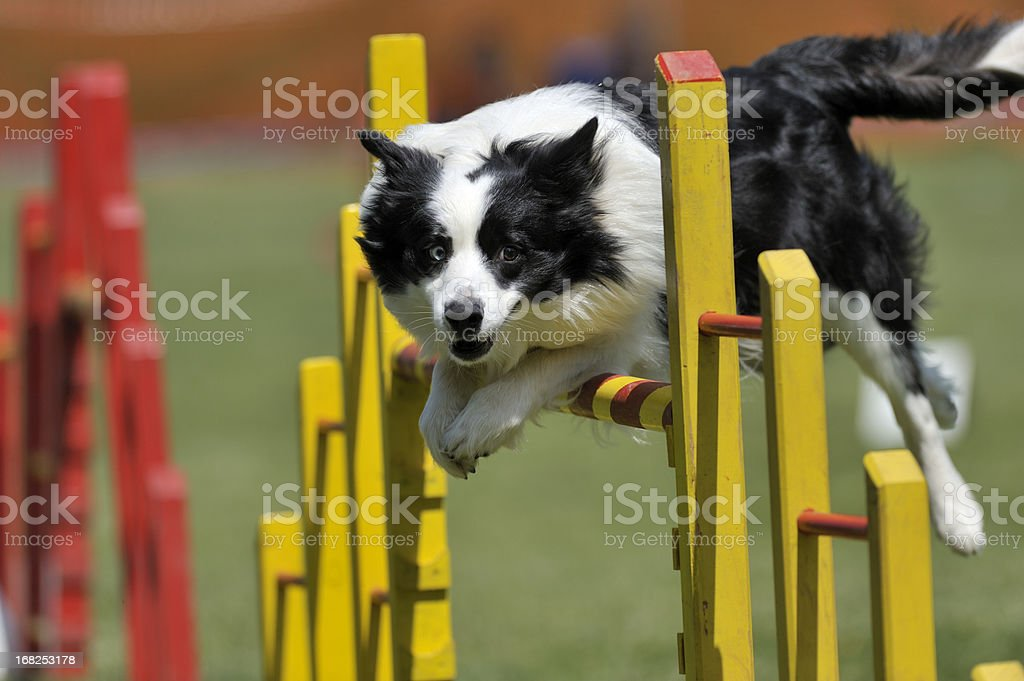 Proud dog jumping over obstacle royalty-free stock photo