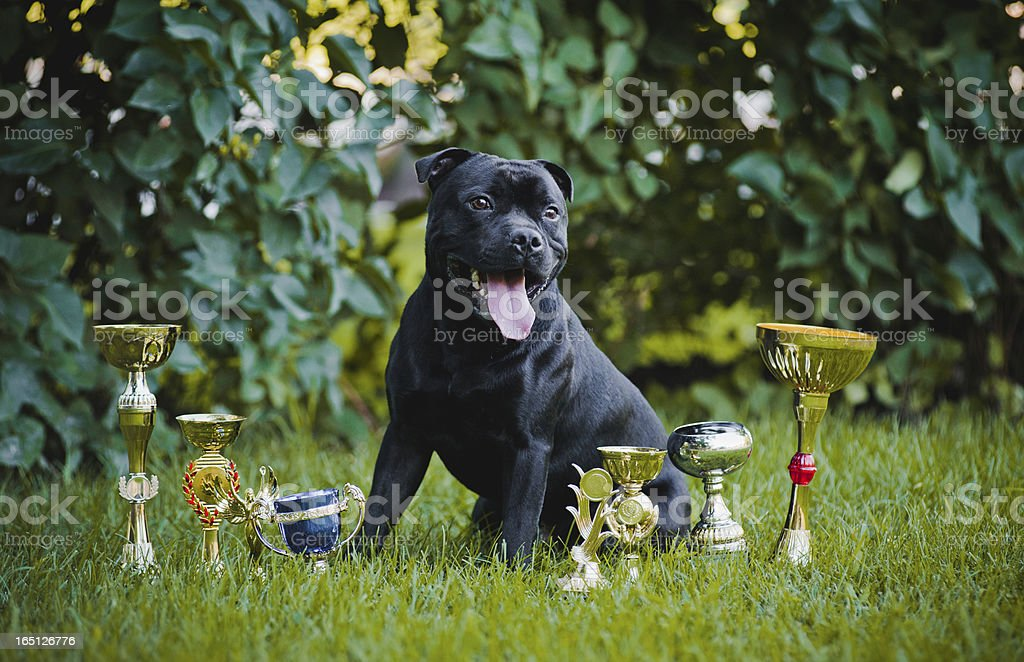 proud dog Stafford Terrier with medals royalty-free stock photo