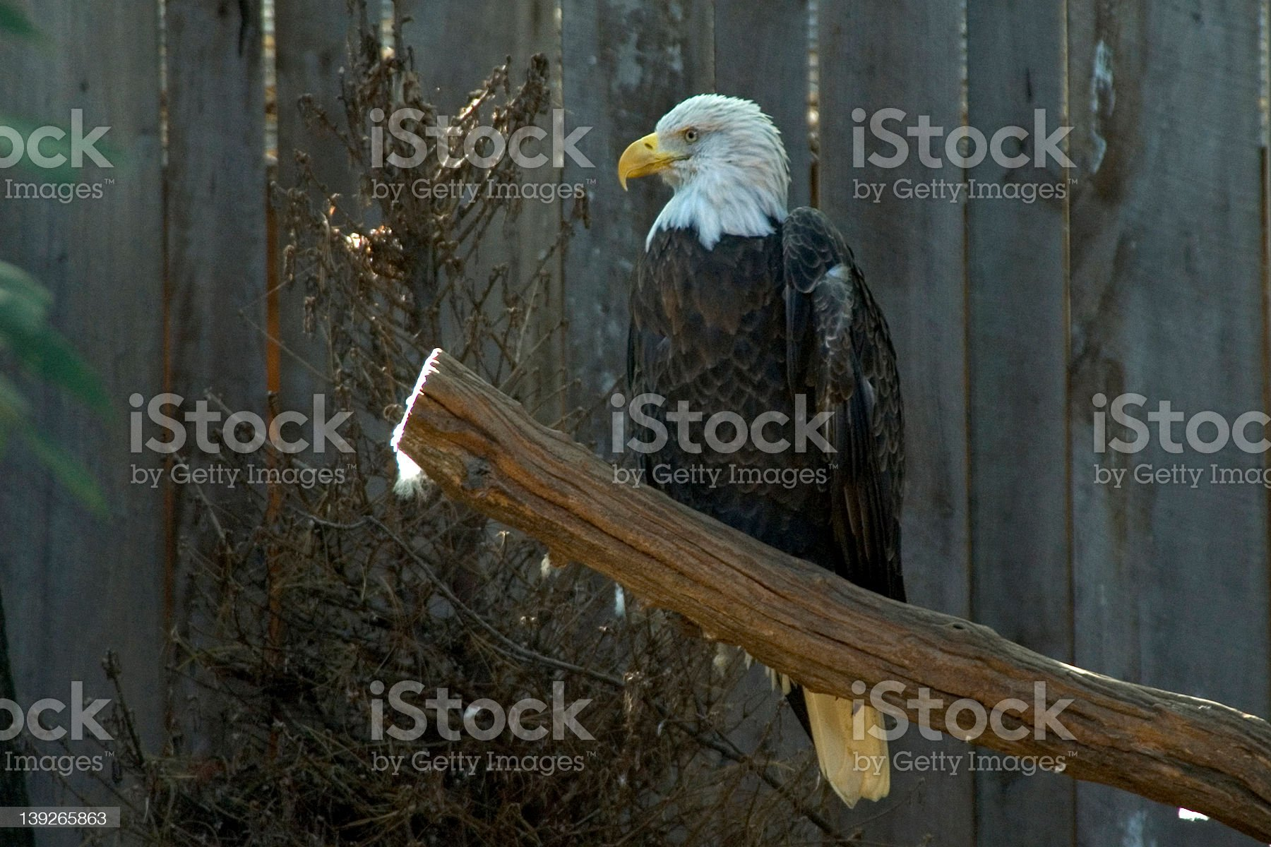 Proud Eagle royalty-free stock photo