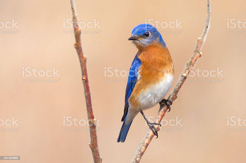 Proud Eastern Bluebird perched on a tree in Canada stock photo