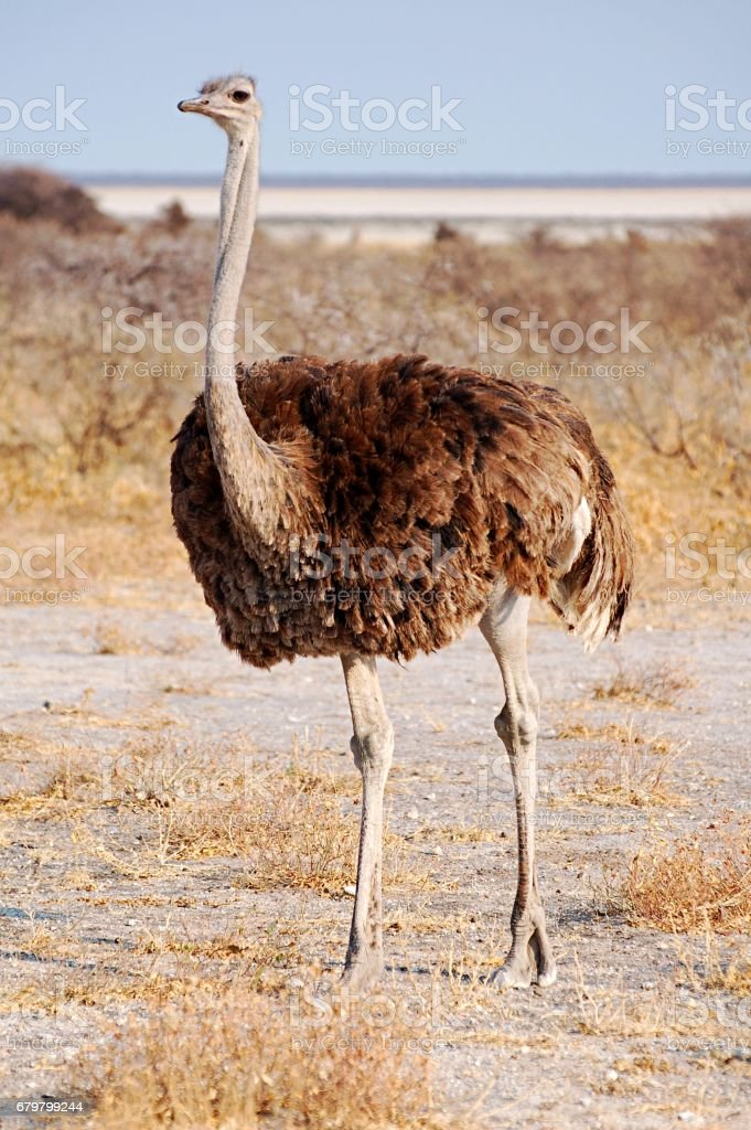 Proud female Ostrich in the beautiful Etosha National Park stock photo