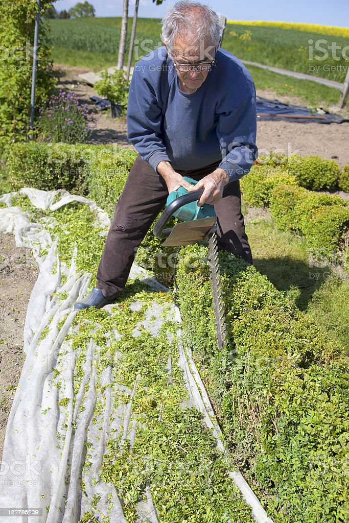 Proud Gardner Trimming a Hedge stock photo