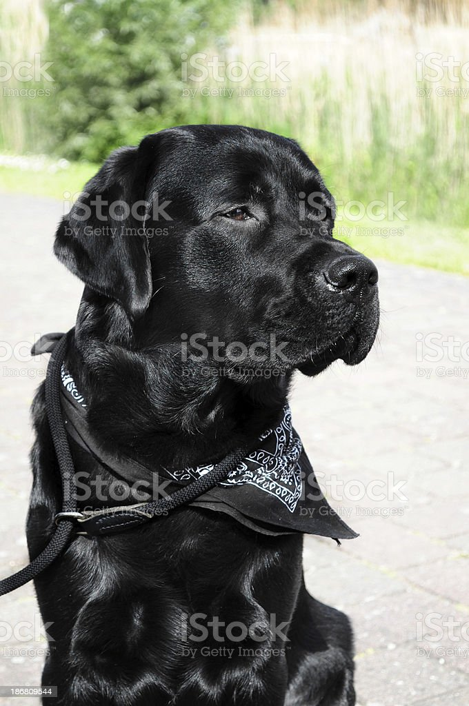 Proud Labrador dog with scarf royalty-free stock photo