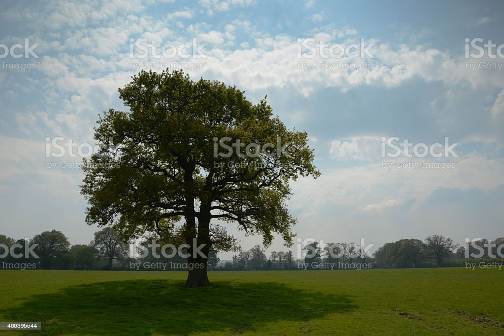 Proud lone tree in English spring sunshine stock photo