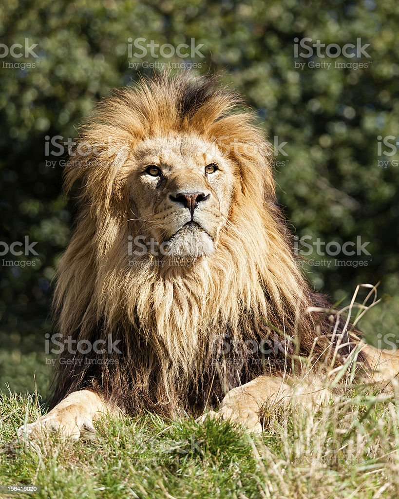Proud Majestic Lion Sitting in Grass royalty-free stock photo