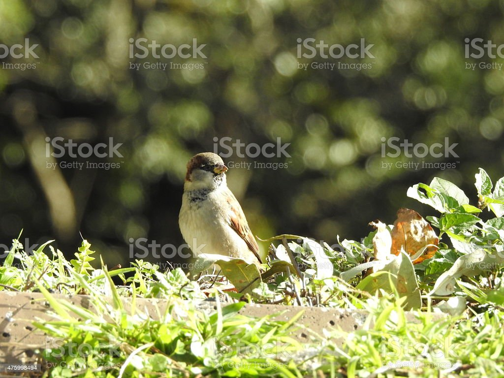 Proud male sparrow eating royalty-free stock photo