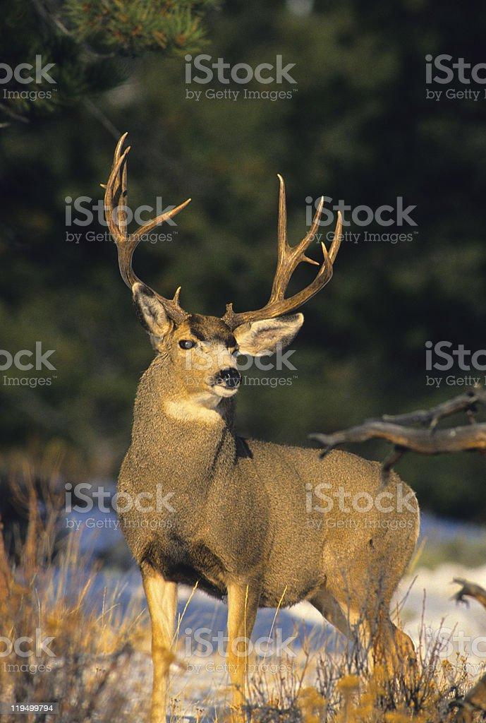 Proud Mule Deer Buck stock photo