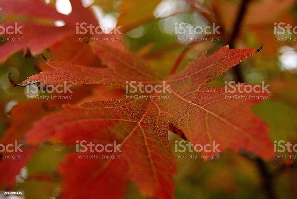 Proud Oak royalty-free stock photo