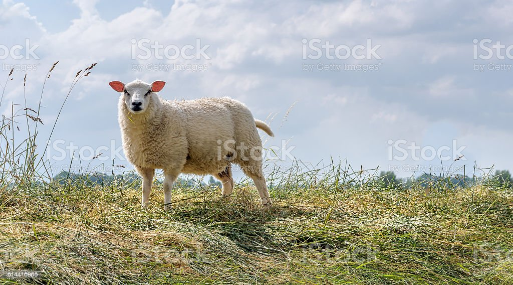 Proud posing sheep on the top of an embankment stock photo