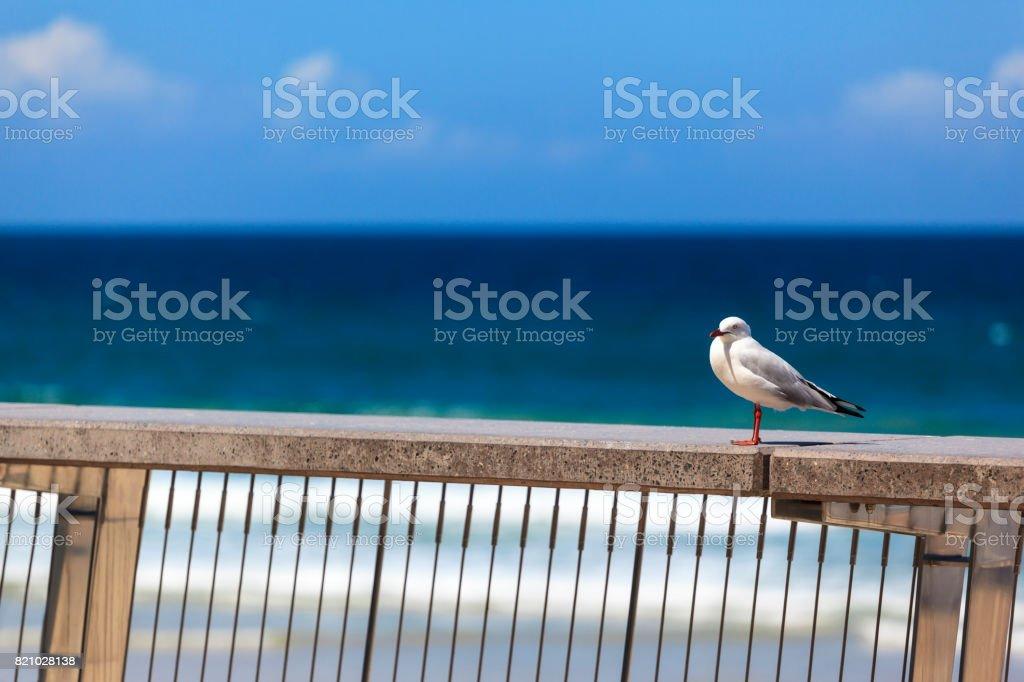 Proud seagull   -  Australia stock photo