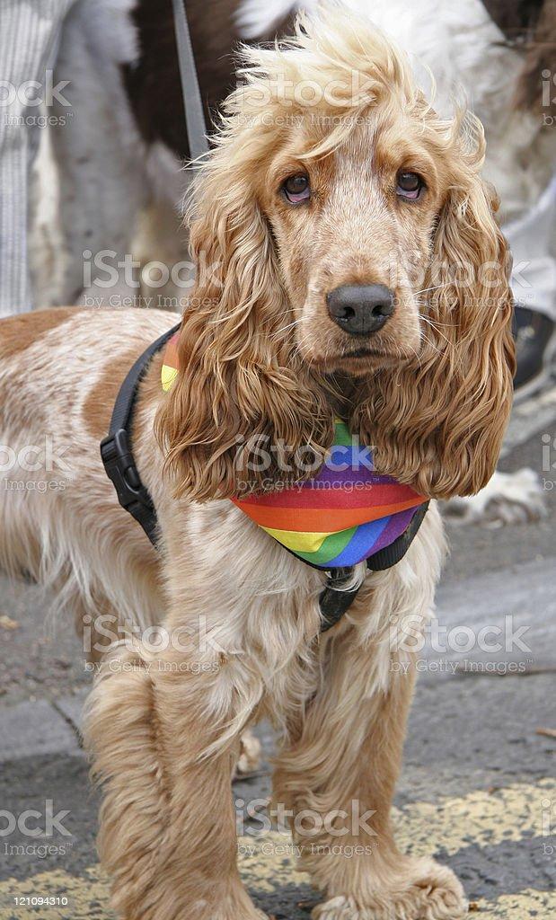 Proud Spaniel royalty-free stock photo