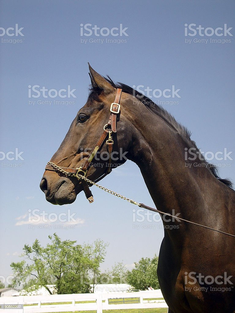 Proud Steed royalty-free stock photo