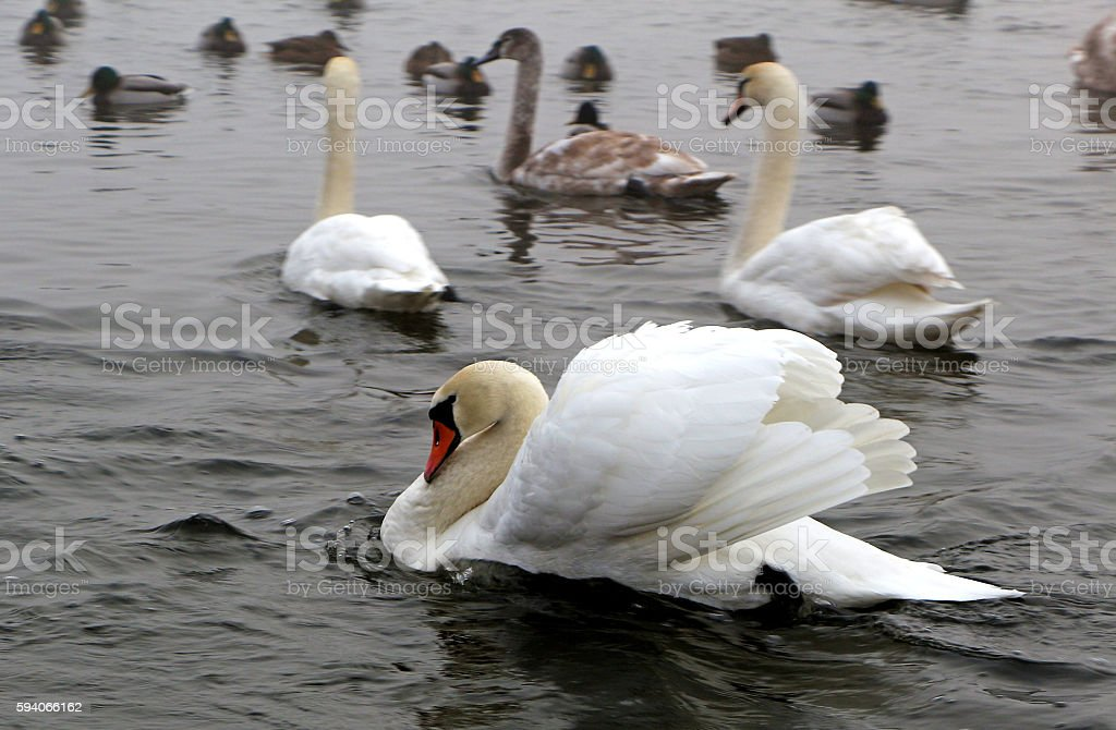 Proud white swan - the owner. stock photo