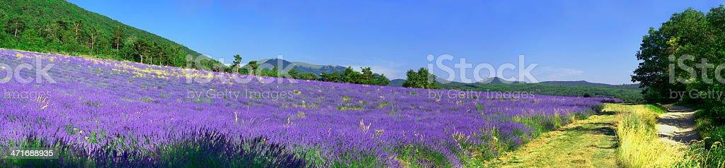 Provencal lavender in summer, France stock photo