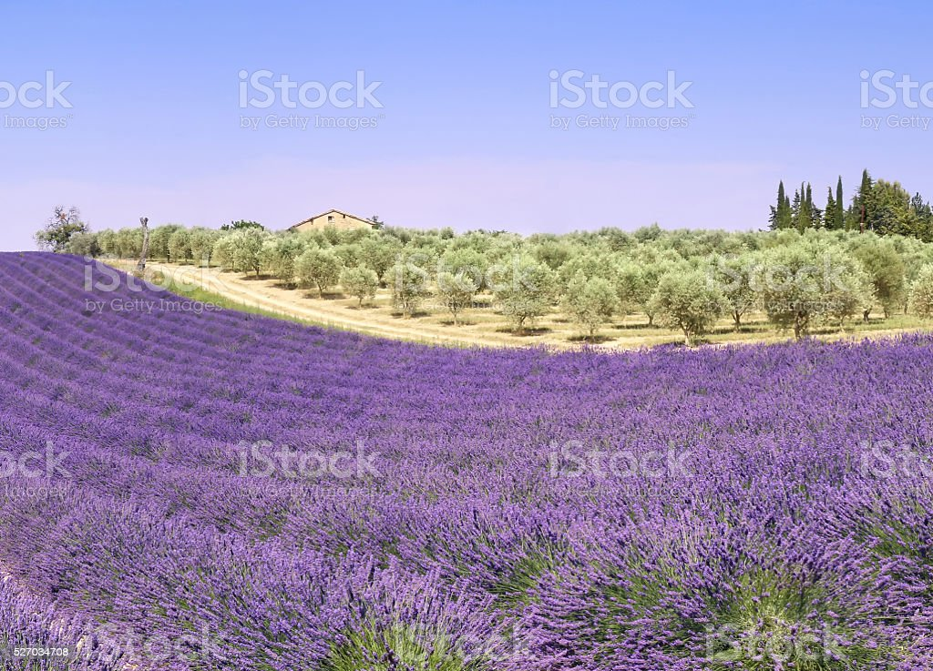 Provence: lavender fields and olive trees stock photo