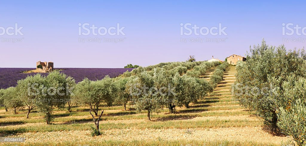 Provence: olive trees and lavender field stock photo