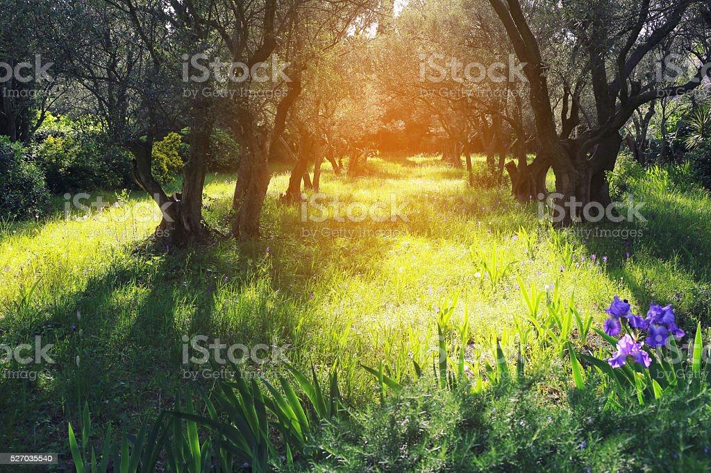 Provence: Spring sunny day in olive grove stock photo