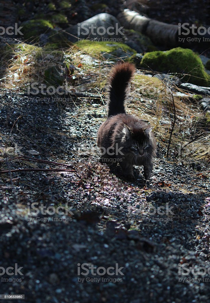 Prowling Domestic Cat stock photo