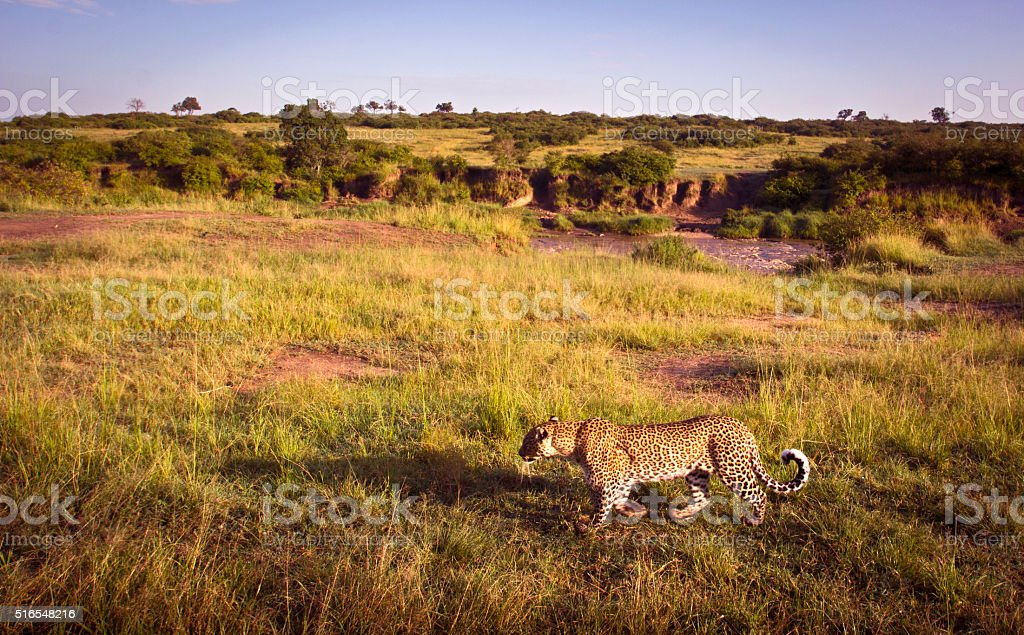 Prowling leopard stock photo