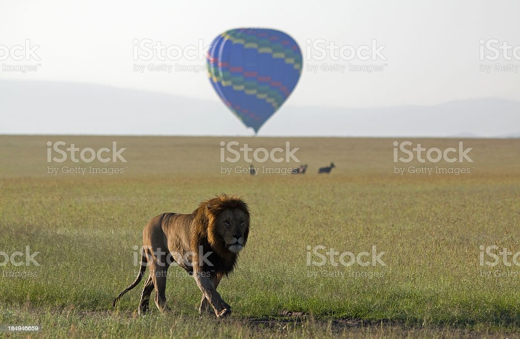 Prowling Lion stock photo