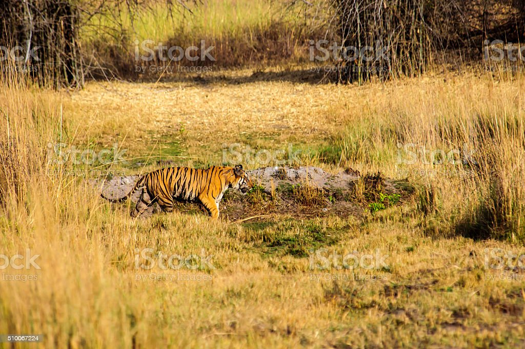 Prowling tiger in Kanha stock photo