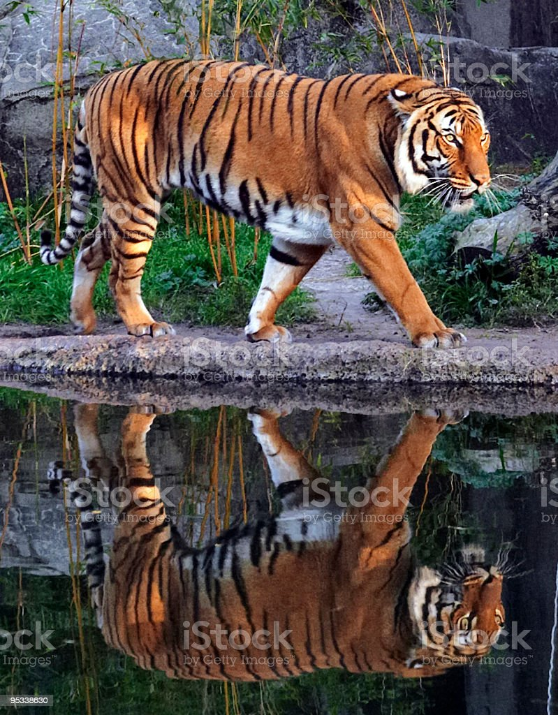 ProwlingTiger royalty-free stock photo