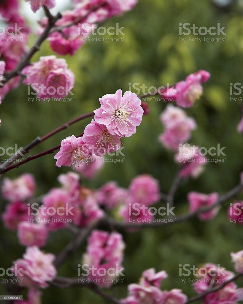 Prune flower closeup royalty-free stock photo